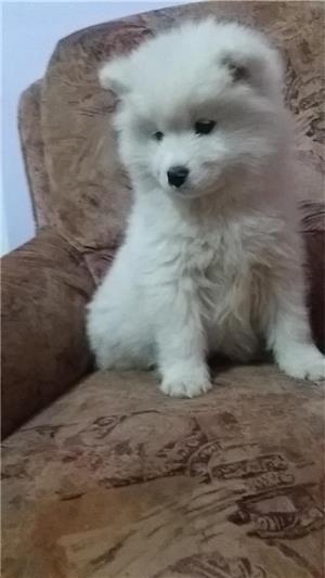 Vand samoyed,1 fetita disponibila. - imagine 2