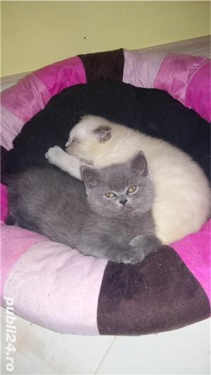 British shorthair blue point  - imagine 2
