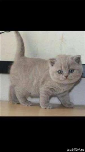 British shorthair si scottish!! - imagine 1