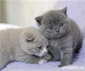 pisicute british shorthair - imagine 2