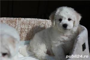Bichon Frise, albi imaculati, nu lasa par - imagine 5