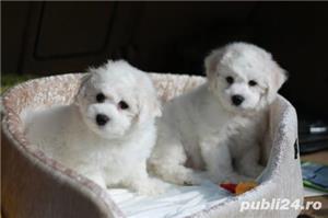 Bichon Frise, albi imaculati, nu lasa par - imagine 3