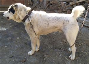 Ciobanesc de Asia Centrala  - imagine 4