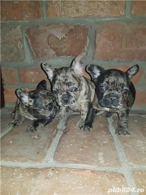 Bulldog francez blue,merle, fata sau baiat - imagine 3