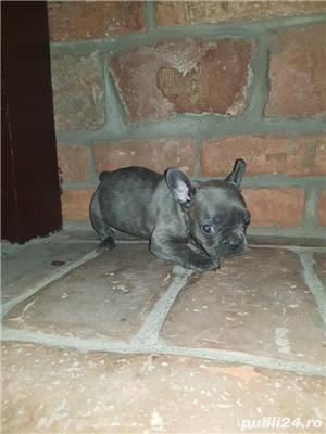 Bulldog francez blue,merle, fata sau baiat - imagine 4