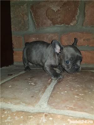 Bulldog francez blue,merle, fata sau baiat - imagine 6