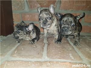 Bulldog francez blue,merle, fata sau baiat - imagine 5