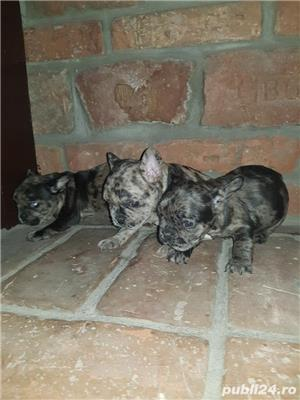 Bulldog francez blue,merle, fata sau baiat - imagine 8