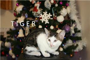 Angora si Tigru Siberian - imagine 1
