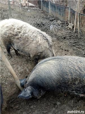 Porci mangalita - imagine 5