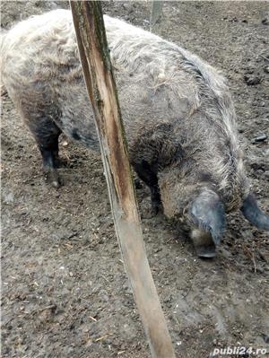 Porci mangalita - imagine 4