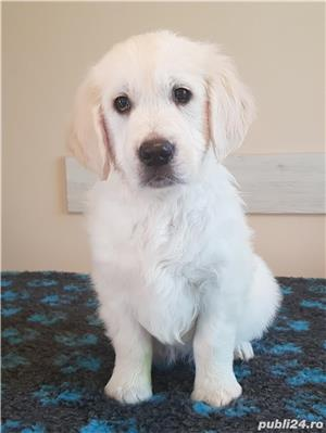 Pui Golden Retriever - imagine 1