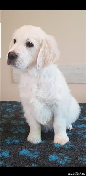 Pui Golden Retriever - imagine 2