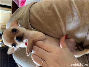 Chihuahua  - imagine 5