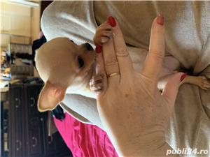 Chihuahua  - imagine 4