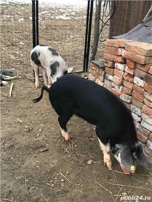 Soldani purcei porci - imagine 2