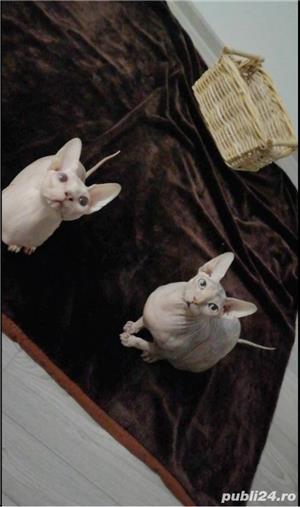 Vand pisica Sphynx Sfinx - imagine 5