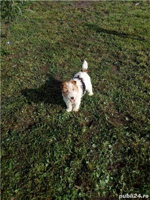 Foxterrier - imagine 1