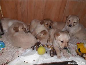 Labrador - imagine 7