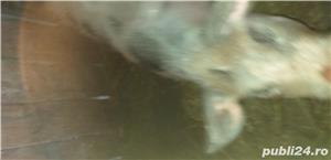 Porc pietran - imagine 1