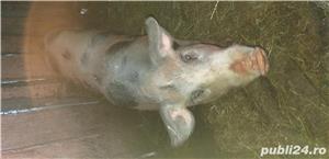 Porc pietran - imagine 2