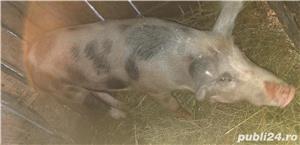 Porc pietran - imagine 3