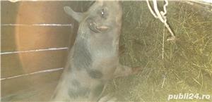 Porc pietran - imagine 4