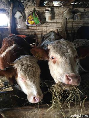 Vand 5 vaci Baltate si 6 vitele de 1 an !  - imagine 1
