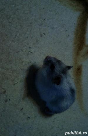 Hamsteri pitici - imagine 3