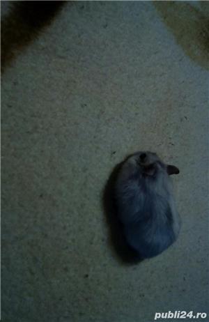 Hamsteri pitici - imagine 2