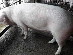 Vand porc - imagine 1