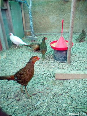 Vând fazani auriu pe roșu . pereche - imagine 3