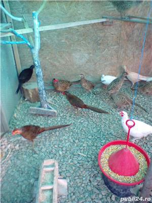 Vând fazani auriu pe roșu . pereche - imagine 2