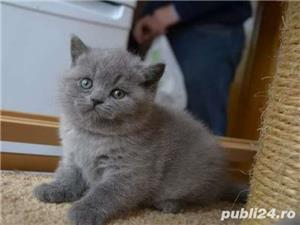 fetite british shorthair  - imagine 2
