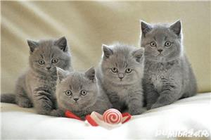 fetite british shorthair  - imagine 1