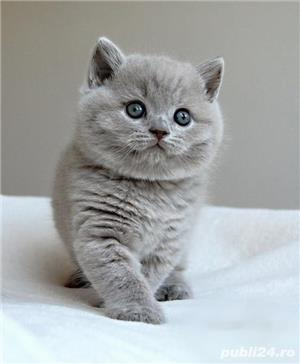 FETITA SI BAIETEL BRITISH SHORTHAIR. - imagine 1