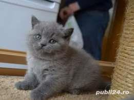 FETITA SI BAIETEL BRITISH SHORTHAIR. - imagine 2