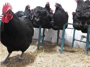 oua pentru incubat Australorp - imagine 2