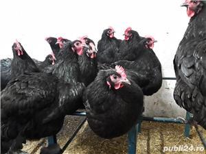 oua pentru incubat Australorp - imagine 3