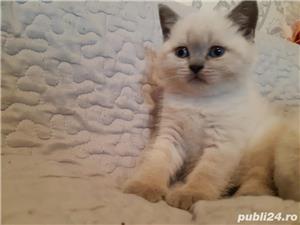 Vand pui pisica british shorthair blue point! - imagine 2