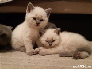 Vand pui pisica british shorthair blue point! - imagine 1