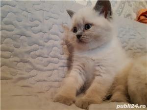 Vand pui pisica british shorthair blue point! - imagine 3