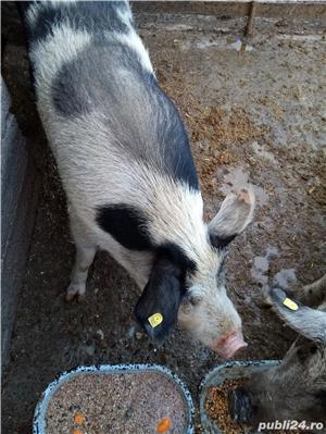 Vând porci - imagine 1