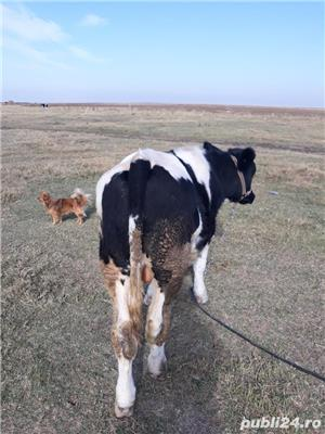 Cumpar vaci. - imagine 3