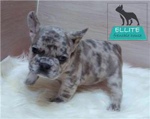 Bulldog Francez Blue Merle de vânzare  - imagine 3