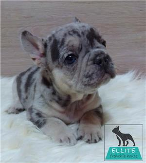 Bulldog Francez Blue Merle de vânzare  - imagine 2