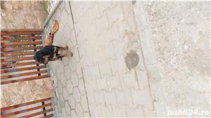 Femela Rottweiler  - imagine 1