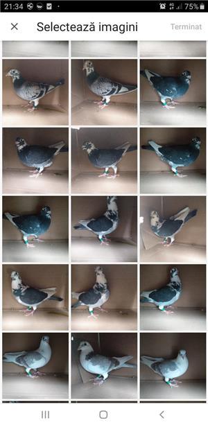 Lichidare crescatorie porumbei voiajori de concurs  - imagine 1