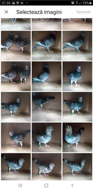 Lichidare crescatorie porumbei voiajori de concurs  - imagine 2