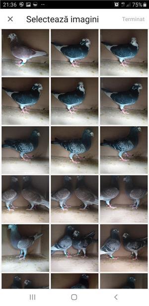 Lichidare crescatorie porumbei voiajori de concurs  - imagine 3